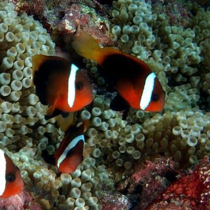 Amphiprion melanopus pair
