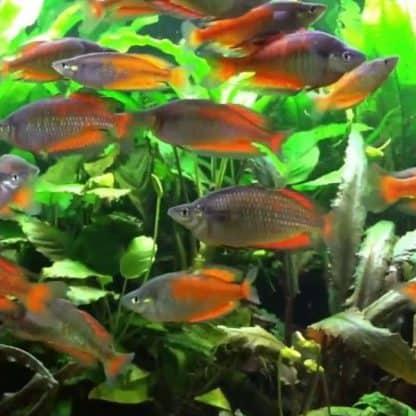 Melanotaenia parkinsoni – Parkinson's Rainbowfish