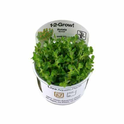 Tropica Rotala 'Bonsai' 1-2-Grow