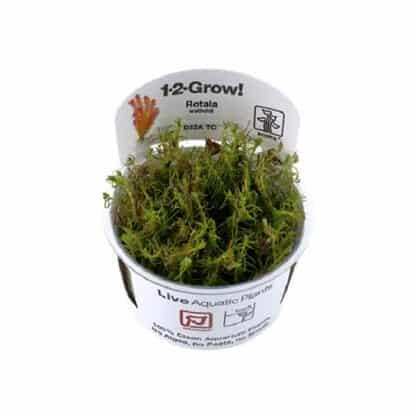 Tropica Rotala Wallichi 1-2-Grow