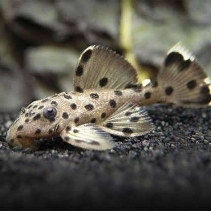 L264 leporacanthicus joselimae-sultan pleco