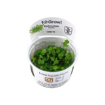 TROPICA Hydrocotyle tripartita 1-2 grow
