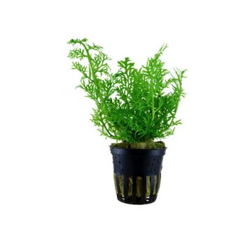 Tropica Ceratopteris Thalictroides Potted