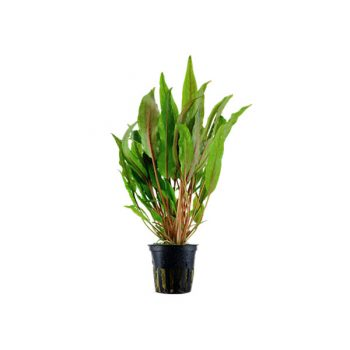 TROPICA Cryptocoryne Broad Leaves Potted