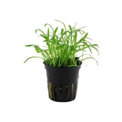 TROPICA Lilaeopsis brasiliensis potted