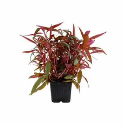Tropica Alteranthera Reineckii Pink Xl