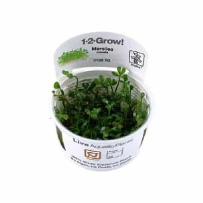 TROPICA Marsilea crenata 1-2-Grow!