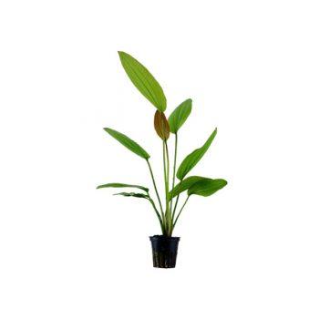 Tropica Echinodorus Rose Potted