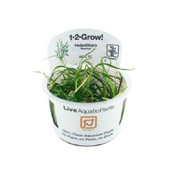 Tropica Helanthium Vesuvius 1-2 Grow!