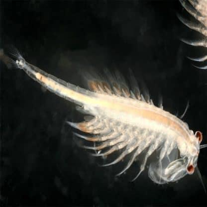 Artemia  Freshwater Live Food 180ml