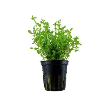 Tropica Rotala 'Green' Potted