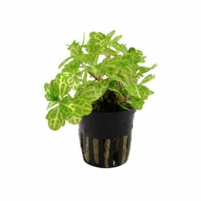 Tropica Shinnersia Rivularis 'Weiss-Grün' Potted