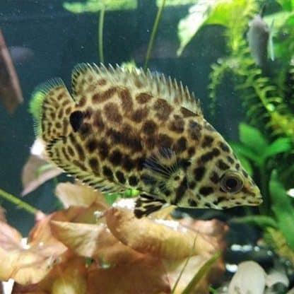Ctenopoma acutirostre – Leopard Bushfish