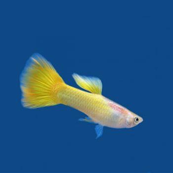 Poecillia reticulata – guppy lemon blond