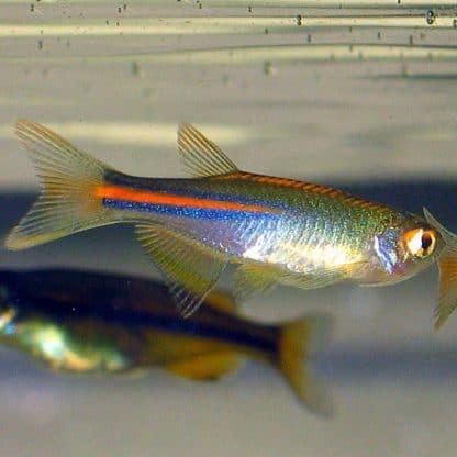 Danio albolineatus-pearl danio