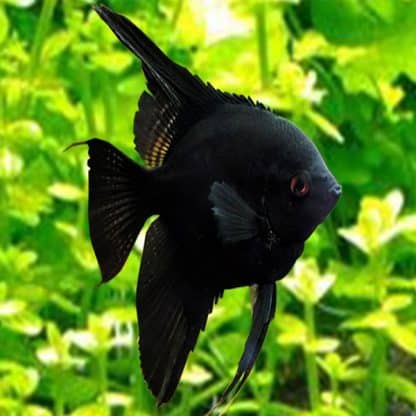 Pterophyllum scalare – Black Velvet Angelfish 4-5cm