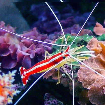 Lysmata amboinensis M- Cleaner Shrimp