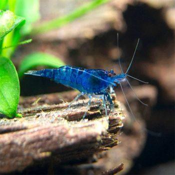 Neocaridina – Blue velvet shrimp