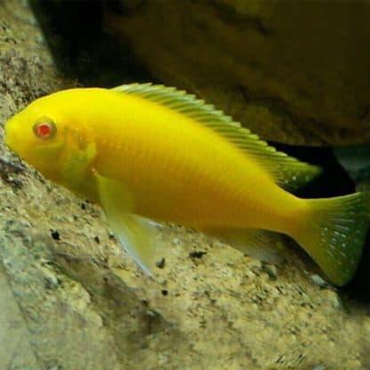 Labidochromis Caeruleus albino