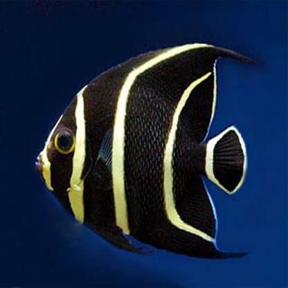 Pomacanthus Paru S