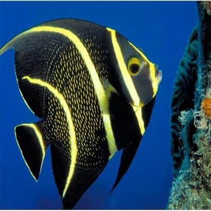 Pomacanthus Paru L