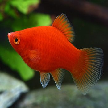 Platy red coral