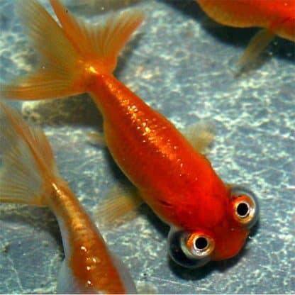 Carassius auratus  – Fantail Celestial Eye Red