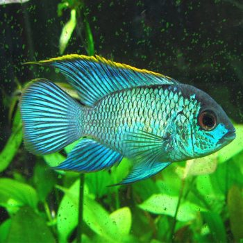 Andinocara Pulcher Electric Blue Acara