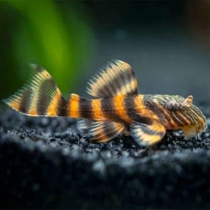 L 397 panaqolus sp. tiger pleco