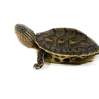 Chinese stripe necked turtle 6-8cm