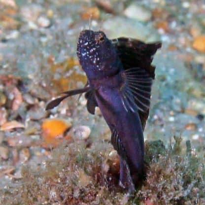 Emblemaria pandionis – Sailfin Blenny