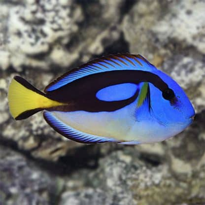 Paracanthurus hepatus yellow belly s