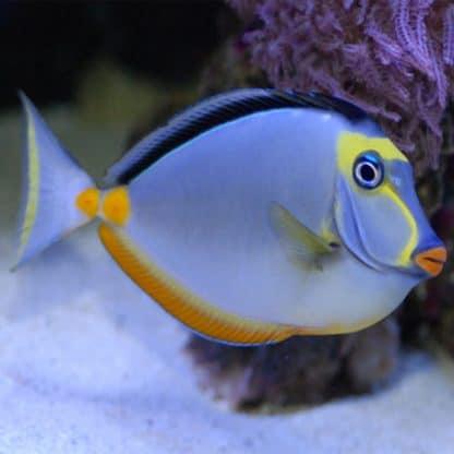 Naso elegans Xl – Elegant Unicornfish