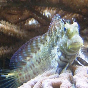 Salarias fasciatus (red fin) m