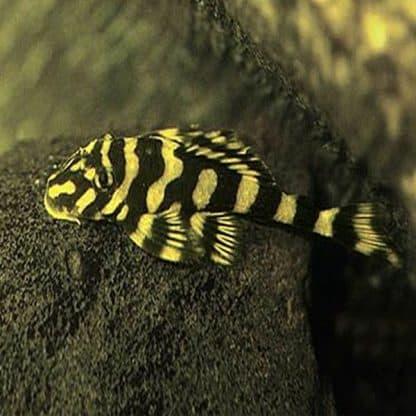 Dekeyseria brachyura – Butterfly Pleco L168
