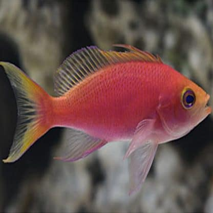 Pseudanthias randalli female m