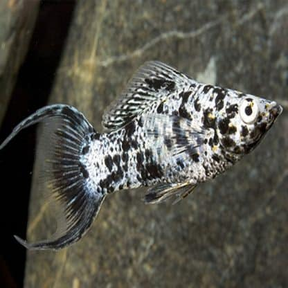 Poecilia sphenops – Molly Marble Lyretail