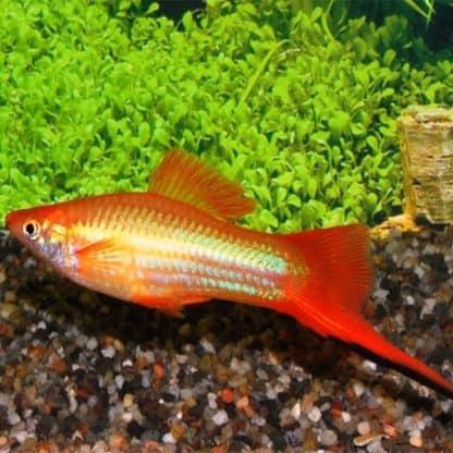 Xiphophorus helleri – Swordtail Marigold