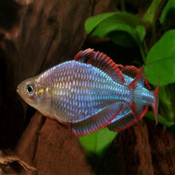 Melanotaenia praecox – Neon Dwarf Rainbowfish
