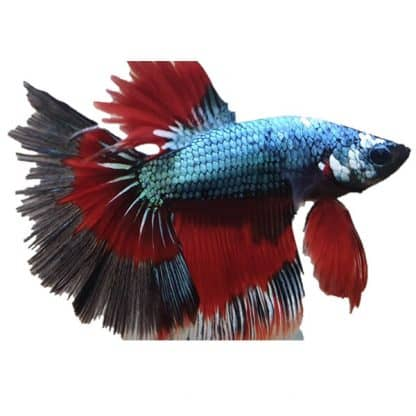 Betta splendens halfmoon dragon male Xl