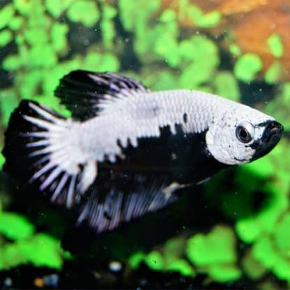 Betta Sp. Plakat Black Samurai Male L