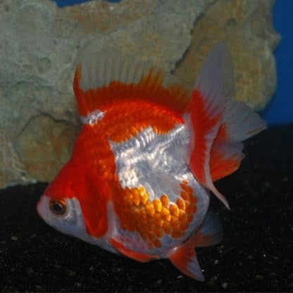 Carassius auratus – Fantail Ryukin Shorttail Red/White