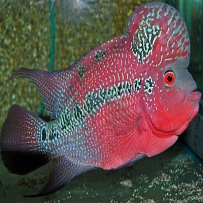 Cichlidae sp. flowerhorn red pearl