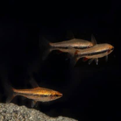 Nanostomus beckfordi