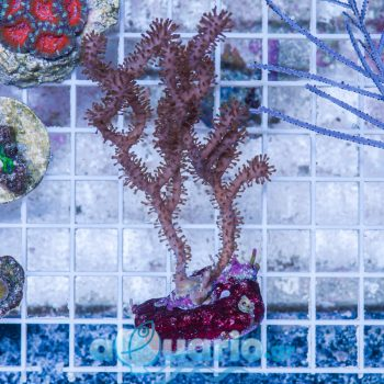 Gorgonia sp