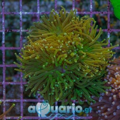 Euphyllia glabrenscens green G89