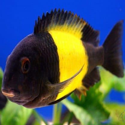 Tropheus ikola -Yellow Kaiser