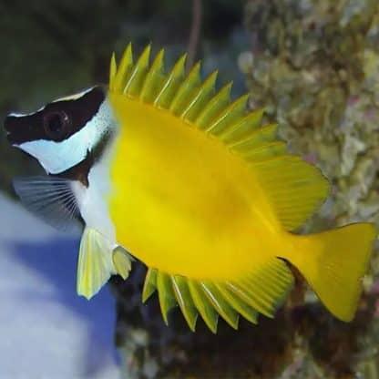 Siganus vulpinus l