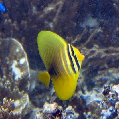 Zebrasoma Veliferum (JUV) S