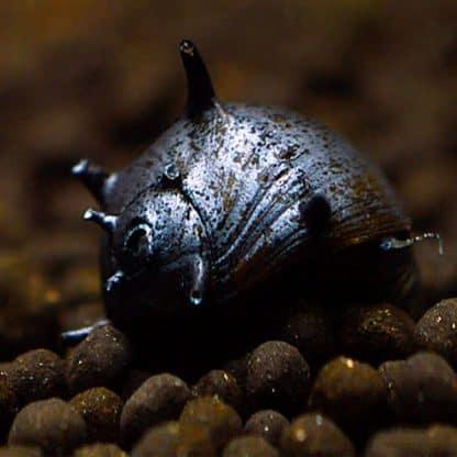Clithon corona -Black Horn Snail
